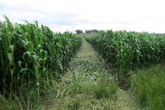 Through the maize towards Vauls Farm : 14-Aug-2005 : photo Con McHugh