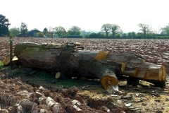 10:17 : Just east of Kenilworth Golf Course - the felled Oak